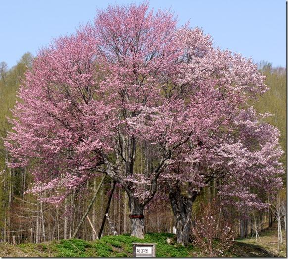 菊子桜前●b