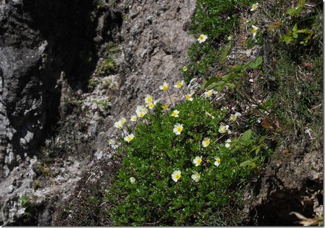 04断崖に咲くチングルマ(オロフレ山)0614_2
