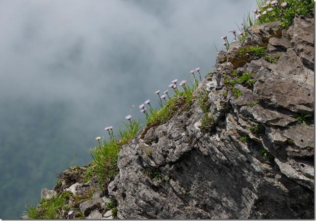 09岩場に咲くミヤマアズマギク(徳舜瞥山・ホロホロ山)0624_1
