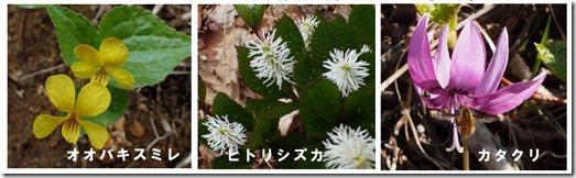 地球岬 オオバキスミレ ヒトリシズカ カタクリ